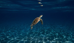 Green sea turtle by Michael Dornellas
